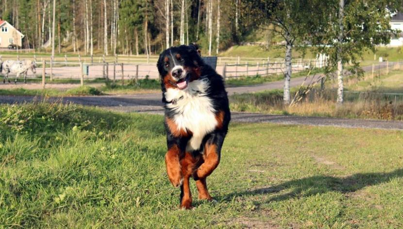 Onni-koira